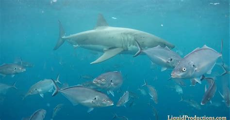 great white shark dive cage diving with great white sharks in neptune islands