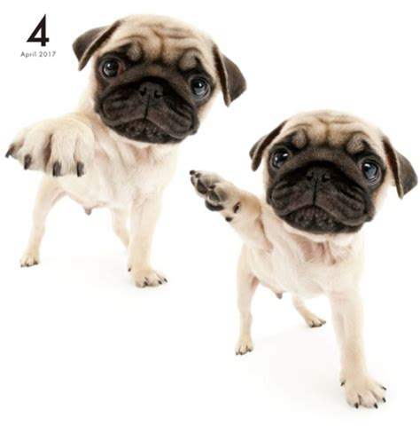 the artlist collection pug 987 best images about artlist collection calendars on