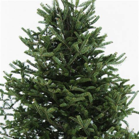 real balsam trees near me wreaths and trees fresh maine balsam from wreath