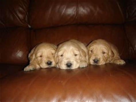 golden retriever breeders nc golden retriever puppies in carolina