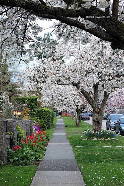 6 cherry tree gardens ramsgate 17 best haku images on garden trees prunus and yard design
