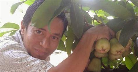 Pasaran Teh Hijau Thailand bibit kurma kl 1 thailand bibit kurma kultur jaringan jambu madu polibet cocok untuk berkebun