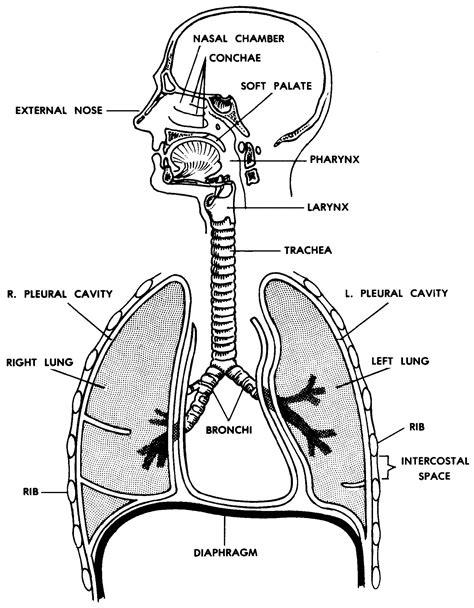 diagram of human being respiratory system of human diagram inspirational