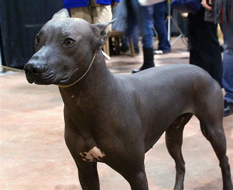 mexican dogs xoloitzcuintli mexican hairless terms of use flickr