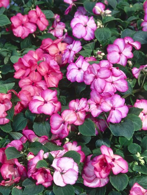 shade loving annuals for containers bing images