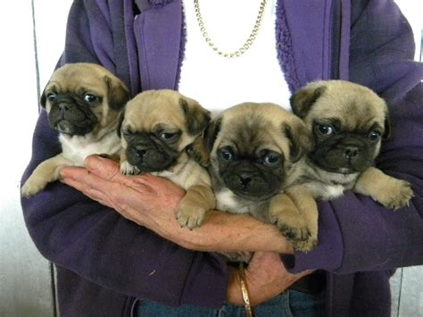 pug puppies for sale gold coast for sale jug puppies coast