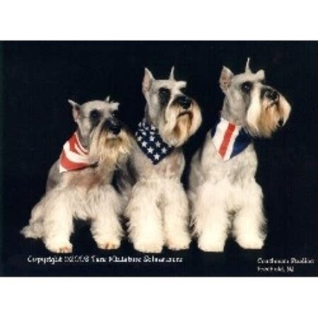 puppies middletown nj tare miniature schnauzers miniature schnauzer breeder in middletown new jersey 07748