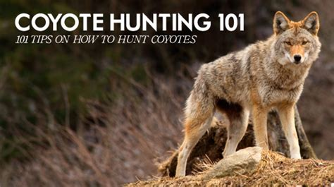 how to to hunt coyote how to hunt coyotes coyote 101