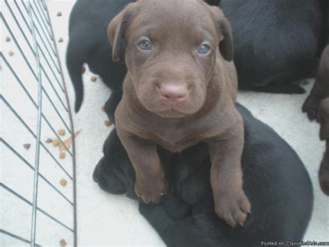 lab puppies for sale indiana the real reason lab puppies for sale in kansas lab