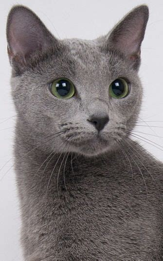 Do Russian Blue Cats Shed by The Russian Blue Cat Cat Breeds Encyclopedia