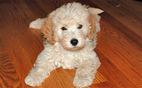 mini goldendoodles kansas australian labradoodle f1b goldendoodle puppies for