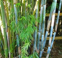 bambusa chungii bamboo photos bamboo for you