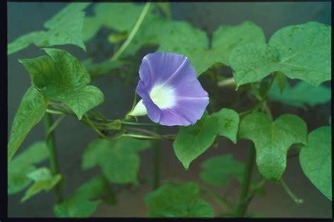 Morning Pharbitis Nil T1310 morning glories database and local strains of asagao nepal