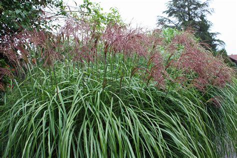 blühende kletterpflanzen winterhart mehrjährig kletterpflanzen winterhart bl 252 hend mehrj 228 hrig le