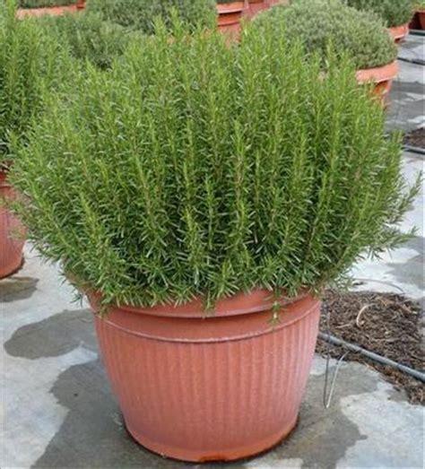rosmarino vaso rosmarino in vaso piante sempreverdi da balcone