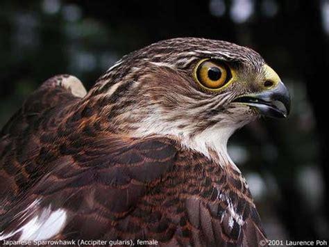 Ternak Cacing Nan elang alap nippon accipiter gularis info burung kicauan