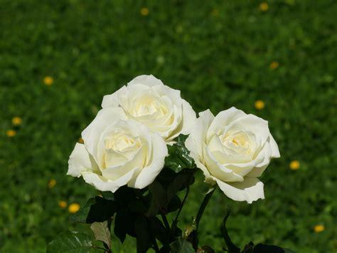 imagenes de rosas blancas hermosas imagui fondos fotos ramos de rosas fondos ramos de rosas bellas