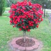 Patio Cherry Tree Dwarf Trees Small Ornamentals Brighter Blooms Nursery