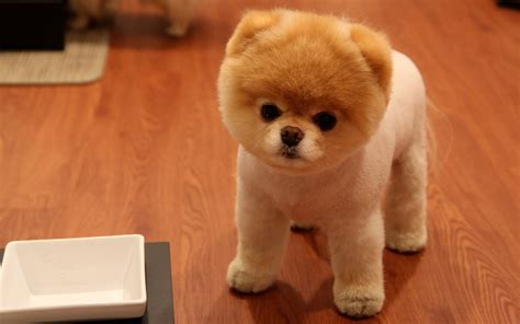 cutest pomeranian puppy happy and animals dogs