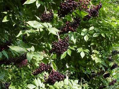sambucus canadensis elderberry degroot