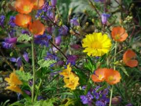 wildflower container garden how to plant california wildflowers
