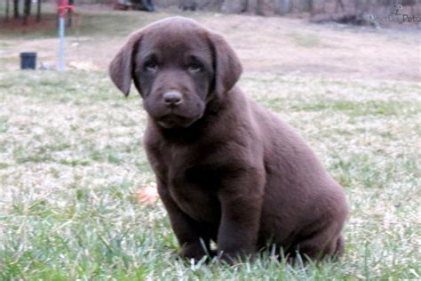 chocolate lab puppy names yellow lab puppies memes