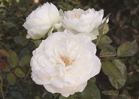 stop and smell the our list of the most fragrant roses star roses plants