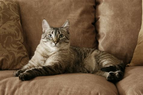 cats on couch living with pets picking pet friendly furniture