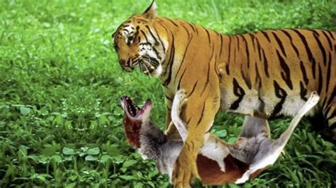 puppy vs real tiger vs pictures to pin on pinsdaddy