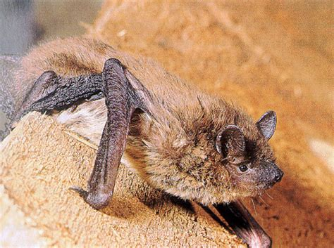 nycticeius humeralis rafinesque evening bat