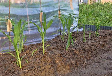 Tanam Jagung Pakan Ternak teknik budidaya tanaman jagung belajar berkebun