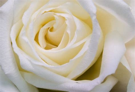 imagenes de rosas blancas hermosas imagui imagenes de rosas hermosas hd imagui