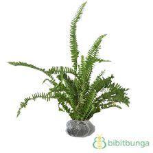 Tanaman Aphelandra Silver tanaman philodendron bipinnatifidum bibitbunga