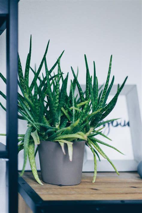 zimmerpflanzen die wenig licht brauchen der pflanzen guide 15 stylische und pflegeleichte