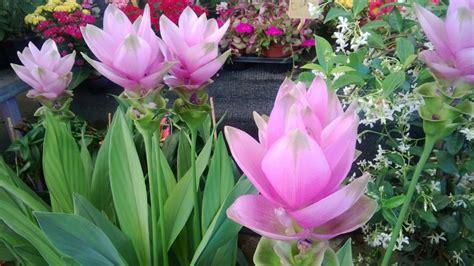 zenzero fiore curcuma tra fiori e spezie ingrosso fiori gambin