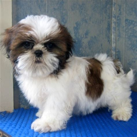 shih tzu for free uk shih tzu puppies for sale in gt uk shih tzu puppy and dogs on puppy planet