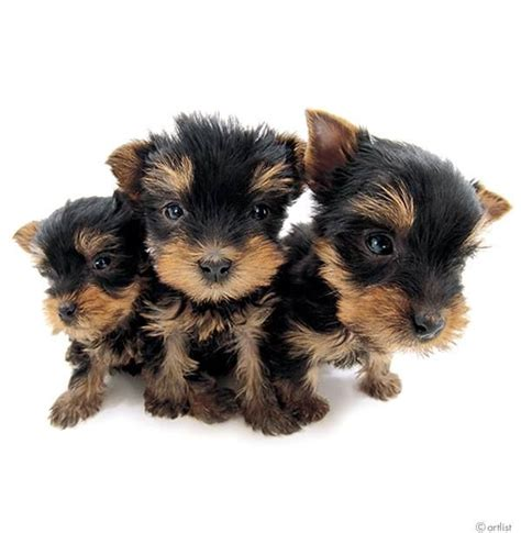 yorkie hair color artist collection the terrier all yorkie puppies are born black