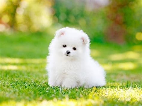 melatih anak anjing puppy proplan indonesia