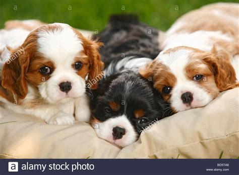 free puppies ta cavalier king charles spaniel puppies blenheim and tricolour 5 weeks stock photo