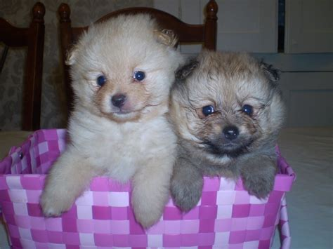 pomeranian puppies for sale colorado pomeranian puppies for sale rushden northtonshire pets4homes