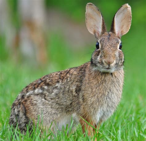 rabbit images eastern cottontail wikiwand