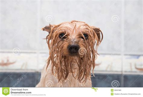 how to bathe a yorkie puppy terrier after the bath stock photo image 36087880
