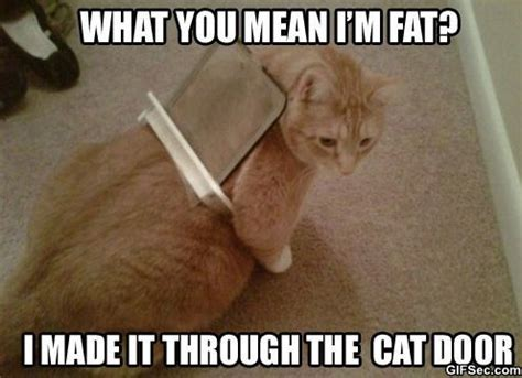 Orange Dog Meme - fat cat jpg