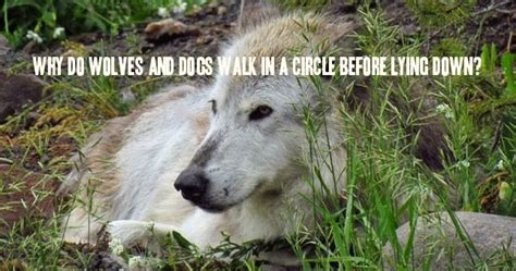 why do dogs walk in a circle before lying white wolf why do wolves and dogs walk in a circle before lying