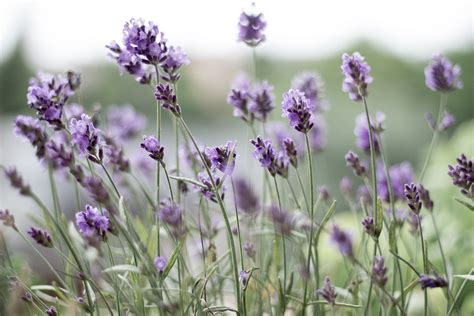 new at fiftyflowers fresh lavender mind goals why lavender should be your go to in