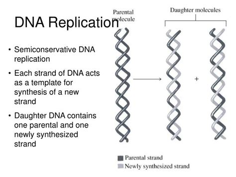 Ppt Dna Replication Powerpoint Presentation Id 2938149 What Acts As The Template In Dna Replication