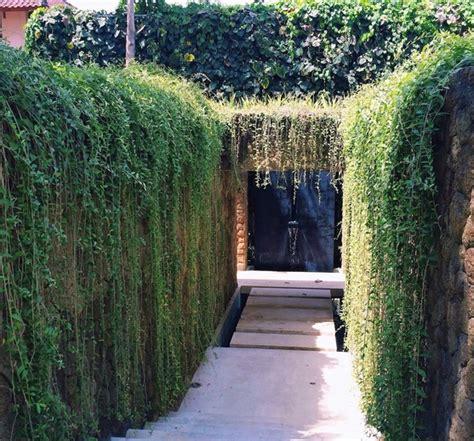 tanaman kwan yew curtain creeper bibitbunga