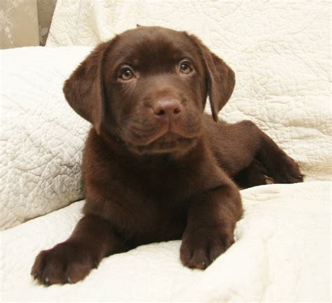 black lab puppies for sale in ny yellow chocolate black labrador retriever puppies for sale pond labradors