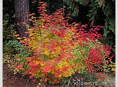 Vine Maple Tree Royalty Free Stock Images - Image: 17945579 Free Clipart Images For Holidays