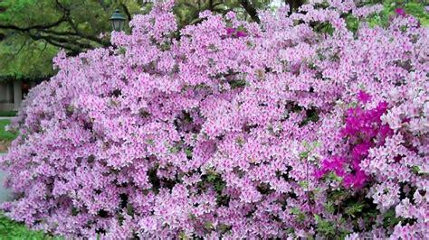 New Azalea azaleas announce and maybe summer and fall new the sun